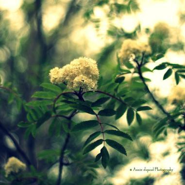 rowan tree blossoming © Annie Japaud Photography