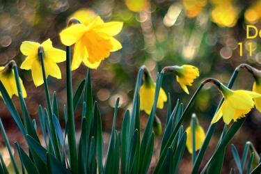 Daffodils for Daffodil day 2016